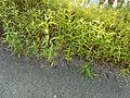 2012-08-21 18-45-53-plantes-asphalte.jpg