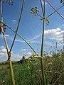 20120813Heracleum sphondylium2.jpg
