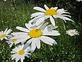 20130608Leucanthemum vulgare3.jpg