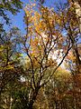 2014-10-30 13 20 09 Tulip Tree during autumn in the woodlands along the West Branch Shabakunk Creek in Ewing, New Jersey.JPG