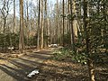 2016-02-08 12 14 51 View north through a grove of American Holly saplings along the Gerry Connolly Cross County Trail between Miller Heights Road and Vale Road in Oakton, Fairfax County, Virginia.jpg