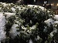 2016-02-16 01 58 55 Snow and freezing rain on an evergreen bush's foliage at night at the Franklin Farm Village Shopping Center in the Franklin Farm section of Oak Hill, Fairfax County, Virginia.jpg