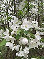 2017-04-12 09 35 54 Crabapple flowers in a woodland within the Chantilly Highlands section of Oak Hill, Fairfax County, Virginia.jpg