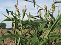 20170802Persicaria lapathifolia5.jpg