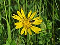 2018-05-13 (148) Tragopogon pratensis (Jack-go-to-bed-at-noon) with Insect at Bichlhäusl in Frankenfels, Austria.jpg