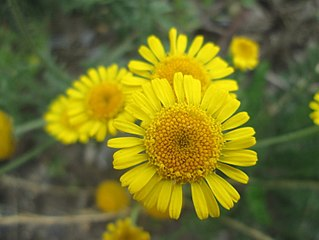 <i>Glebionis segetum</i> Species of flowering plant in the daisy family Asteraceae