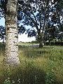 2020-08-19 — Populus × canescens, Haaksbergen – 3.jpg
