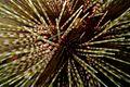 43-EastTimor-Dive Tasi-Tolu 03 (Sea urchin)-APiazza.JPG
