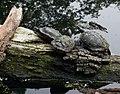 4808 Altwasser Rems Schildkröten.jpg
