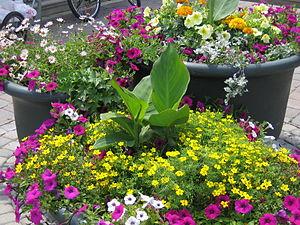 A container garden of petunias, daisies, marig...