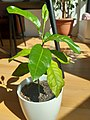 5-month lemon plant p1.jpg