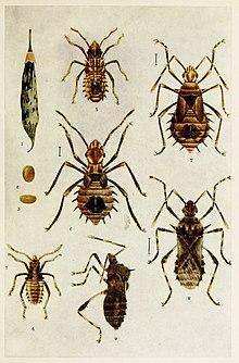 51-Insecto-indio-Vida - Harold Maxwell-Lefroy - Clavigralla-gibbosa.jpg