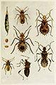 51-Indian-Insect-Life - Harold Maxwell-Lefroy - Clavigralla-gibbosa.jpg