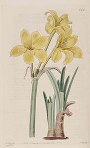 640 Chlidanthus fragrans.jpg