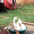7D162D70-482A-4226-AA4D-28FB8920573 my swans.jpg