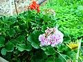 A@a Kyproulas garden askas31 Cyprus - panoramio.jpg