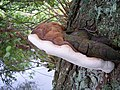 A Bracket fungus but cannot identify it. - geograph.org.uk - 598165.jpg