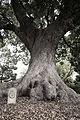 A Camphor Tree, Vergelegen.jpg