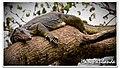 A Monitor Lizard on the Tree! (3179174643).jpg