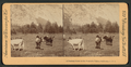 A Pastoral scene in the the Yosemite Valley, California, from Robert N. Dennis collection of stereoscopic views.png