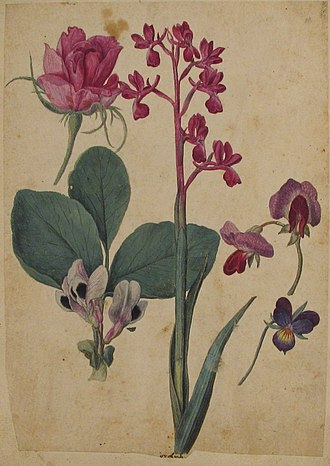 Jacques le Moyne - A Rose, a Heartsease, a Sweet Pea, a Garden Pea, and a Lax-flowered Orchid Metropolitan Museum of Art