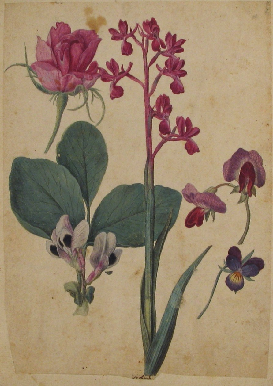 A Sheet of Studies of Flowers- A Rose, a Heartsease, a Sweet Pea, a Garden Pea, and a Lax-flowered Orchid MET 2004.78