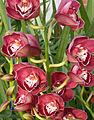 A and B Larsen orchids - Cymbidium Valley Regent Reggae DSCN4671zw.jpg