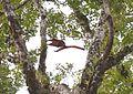 A flying squirrel - Flickr - Pasha Kirillov.jpg