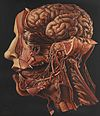 "A human head dissected; ""In memoriam"". Wellcome L0074866.jpg"