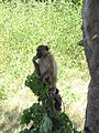 A monkey in Chobe national park, Botswana.jpg