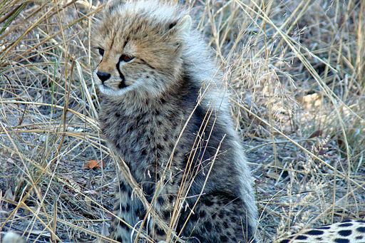 A nice little cheetah
