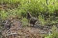 A spruce grouse (6e8ff70a-8e85-46b4-bdd8-50ab67199680).jpg