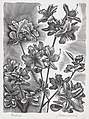 A wood engraving of Azaleas.jpg