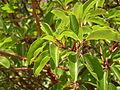 Ab plant 1399.jpg