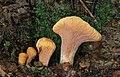 Abgestutzte Riesen- Herkuleskeule Clavariadelphus truncatus.JPG