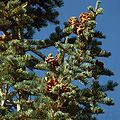 Abies concolor foliagecones-2.jpg
