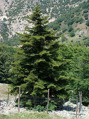 Description de l'image  Abies nebrodensis.jpg.