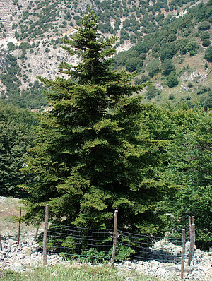 Flora of Italy - Sicilian Fir, a critically endangered species endemic to Sicily