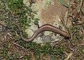 Ablepharus bivittatus.jpeg