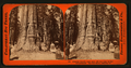Abraham Lincoln - near view, 281 feet high, 41 feet circumference, Big Tree Grove, Calaveras County, by Lawrence & Houseworth.png