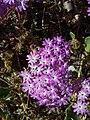 Abronia villosa-3.jpg