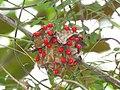 Abrus precatorius Rosary pea - at Mayyil (36).jpg