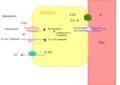 Absorption der Proteine im Dünndarm.png