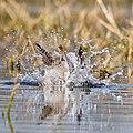 Abstract of gadwall splashing.jpg