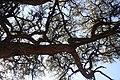 Acacia erioloba, baldakyn, Skrikfontein, a.jpg