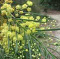 Acacia flocktoniae.jpg