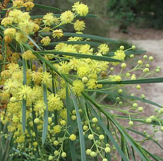 <i>Acacia flocktoniae</i> species of plant