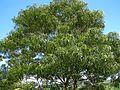 Acacia koa (5187958320).jpg