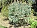 Acacia podalyriifolia (villa Hanbury, Italy).jpg