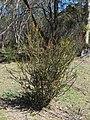 Acacia pravissima (37126328884).jpg